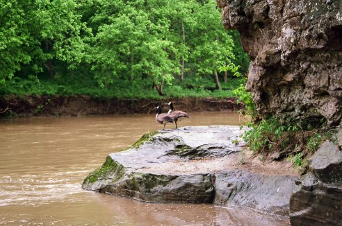 Ducks sitting on the bank of Sugar Creek in Turkey Run State Park.