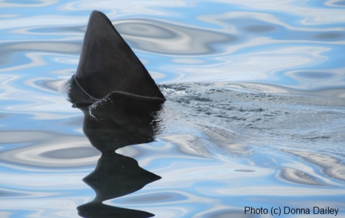 Scotland_Wildlife_Cruise_Shark_fin