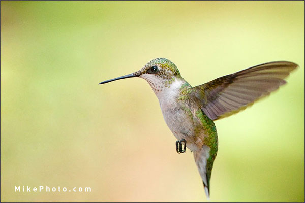 Where to Photograph Hummingbirds? | Mike Lascut Photography