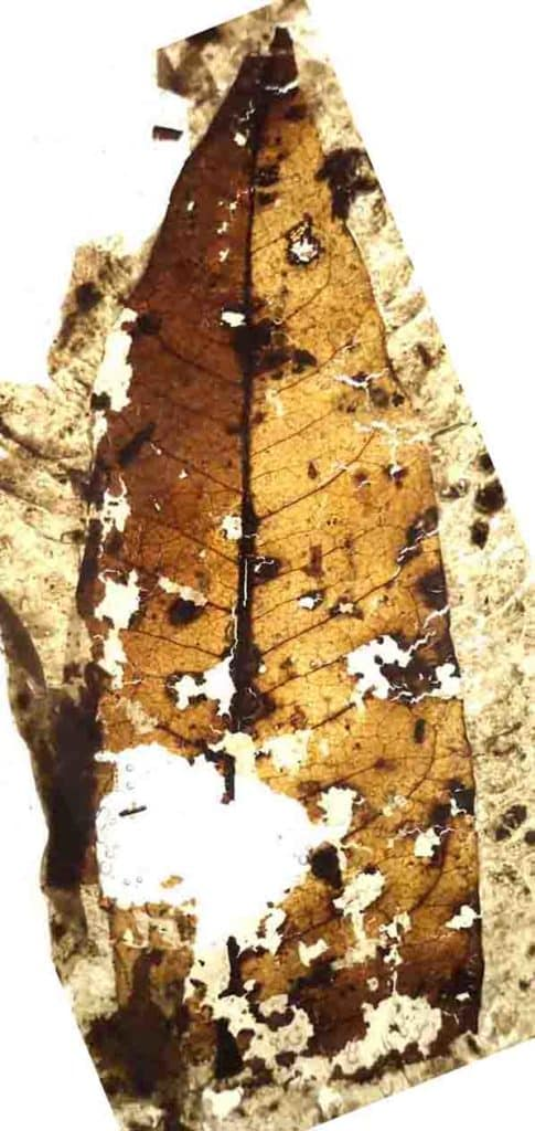 Fossil leaf from New Zealand Late Cretaceous of Kaitangata