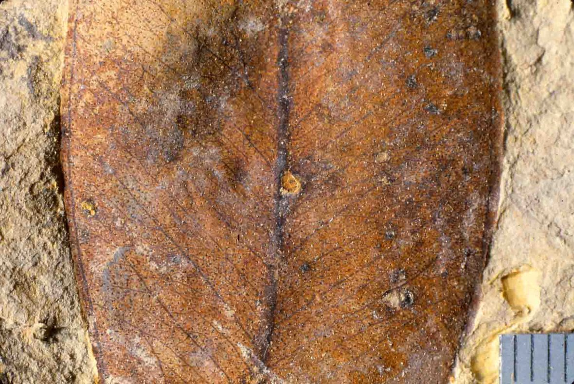 Fossil Eucalyptus leaf from New Zealand Miocene