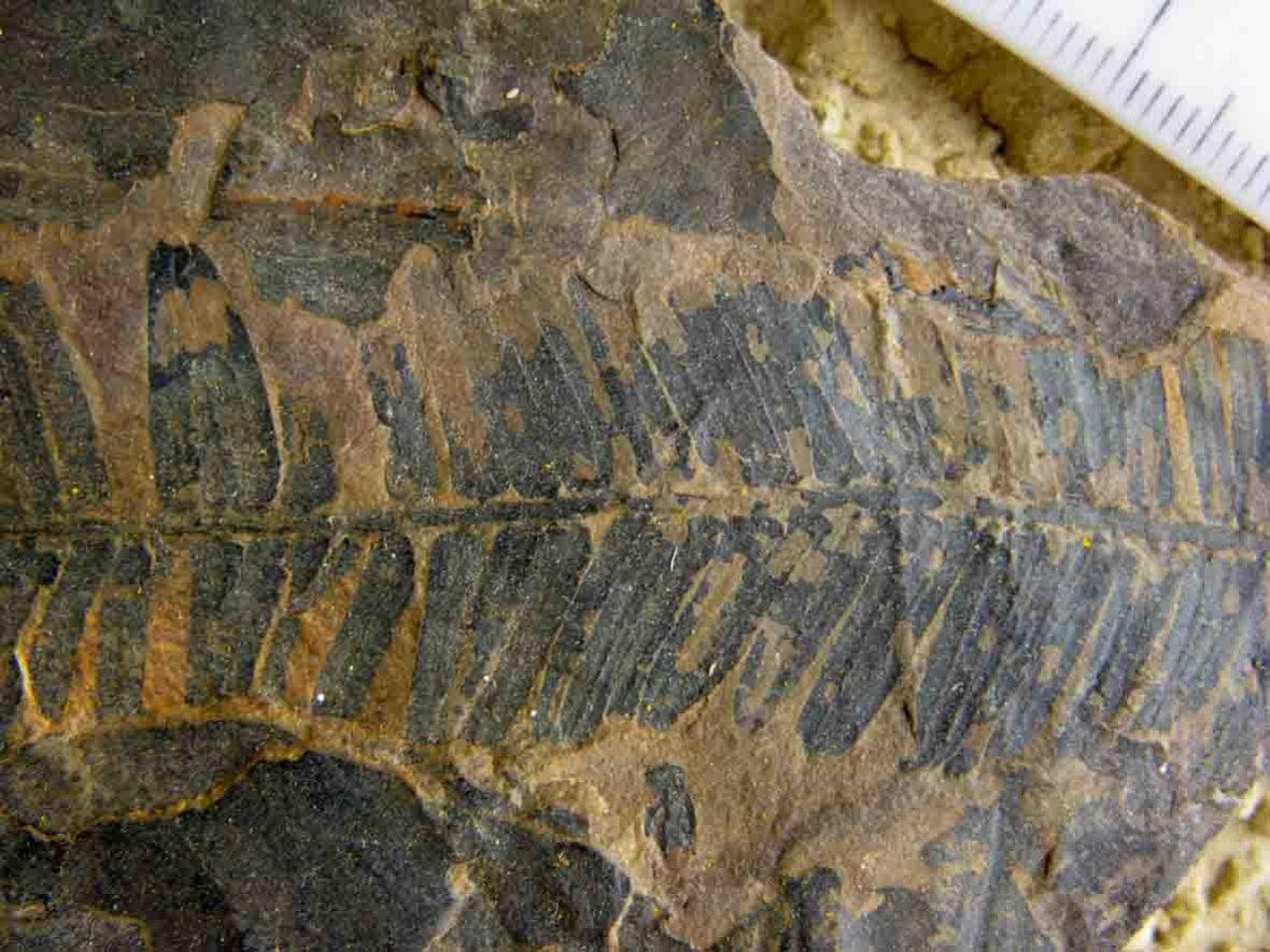 Fossil conifer foliage from New Zealand Paleocene