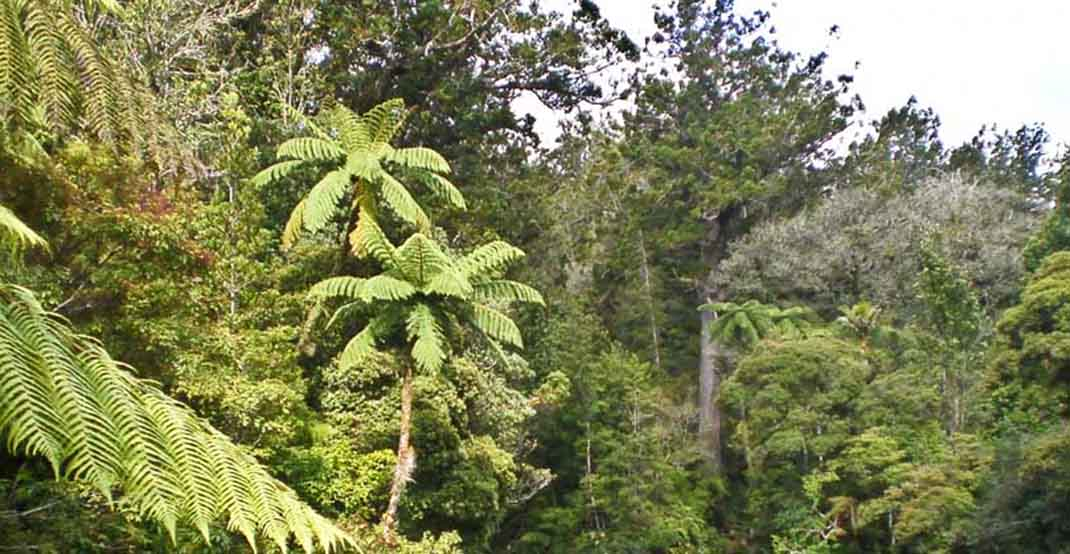 Kauri (Agathis) forest in New Zealand