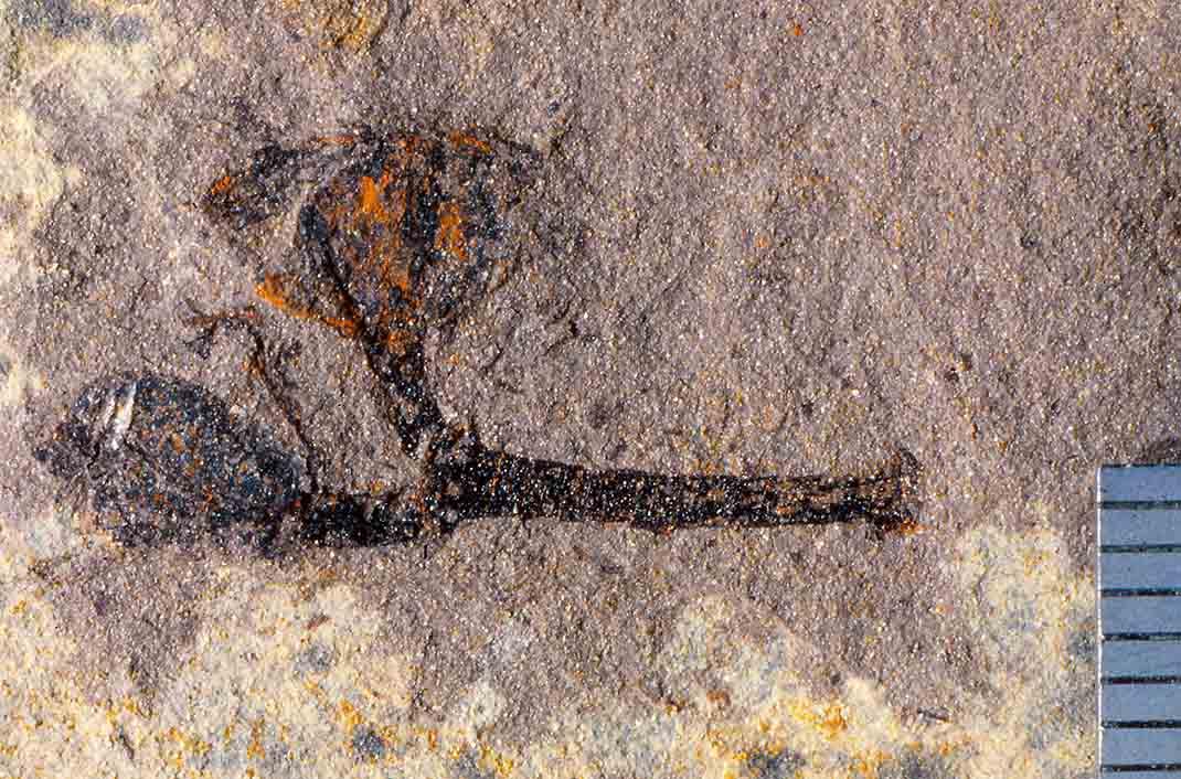 Fossil Metrosideros fruits. Miocene, Manuherikia Group, New Zealand