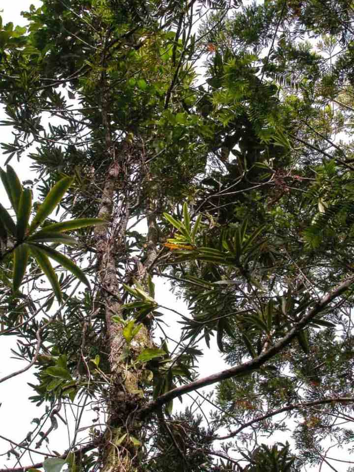 fiji-retrophyllum-tree
