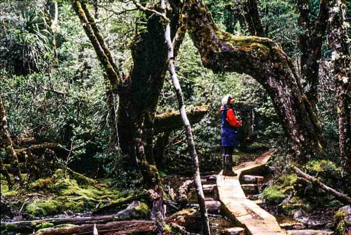 Fairy-tale rainforest in the south of the Overland Track.