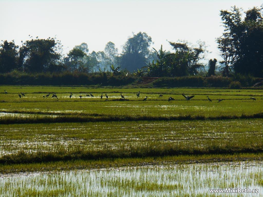 rýžová pole v thajsku