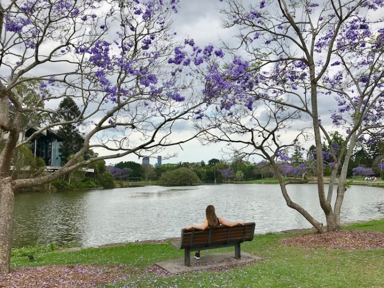 Jacarandá em Brisbane