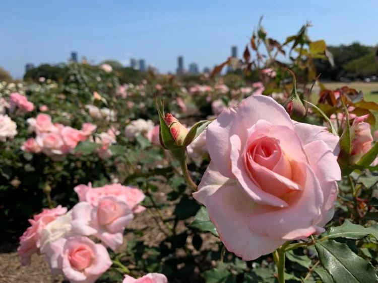 Roseiras do New Farm Park em Brisbane