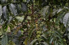 Kaffeplantagerne i Congo