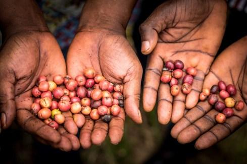 Fra plante til lækker espressokaffe