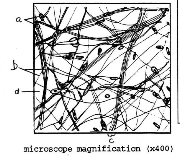 Diagram Of Areolar Tissue