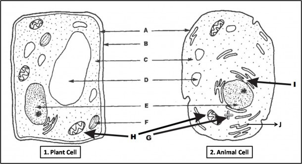 Animal Cell Labeled Diagram