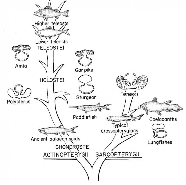 Diagram Of Bony Fish
