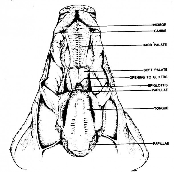Pig Digestive System Diagram Labeled