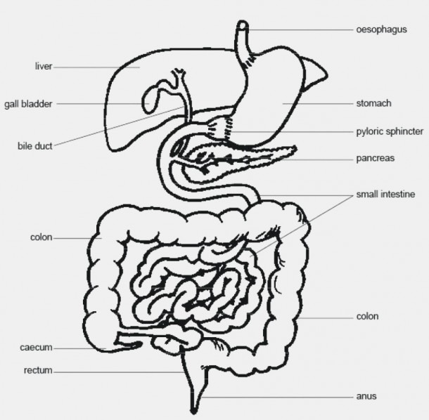 Labeled Diagram Of The Digestive System