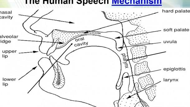 Diagram Of Speech Organs