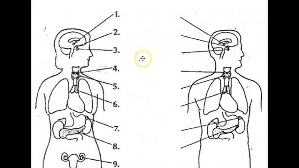 Human Endocrine System Diagram