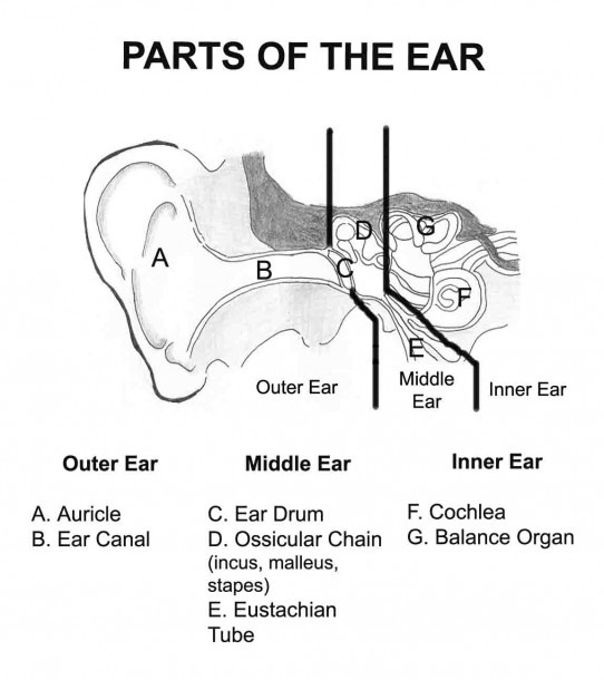 The Ear Diagram And Functions