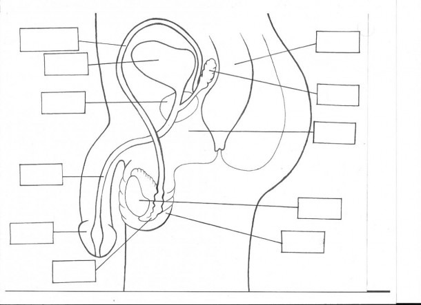 Male Reproductive System Unlabeled Diagram