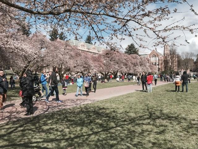 Primavera em Seattle e As Cerejeiras da UW