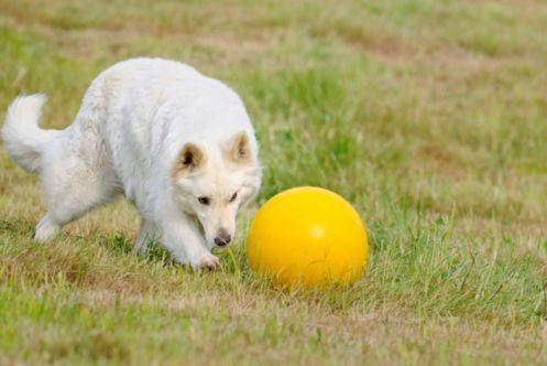 cane pallone