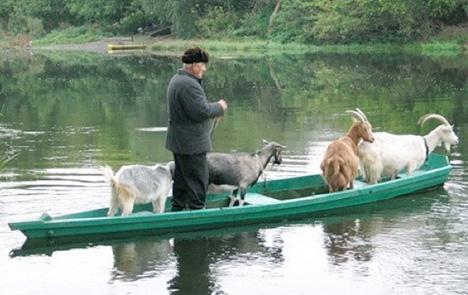 11 goat boat