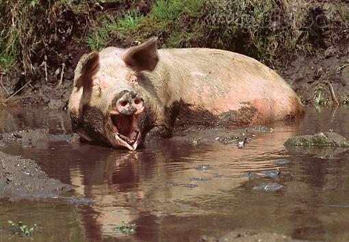 PIG 02 LS0029 01