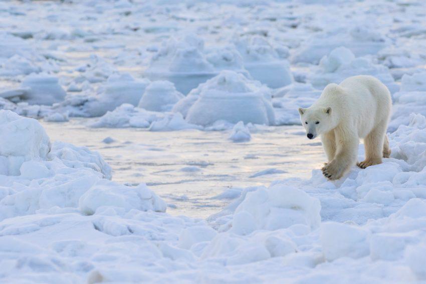 Un orso polare tra i ghiacci sulla costa della Hudson Bay, nel Manitoba