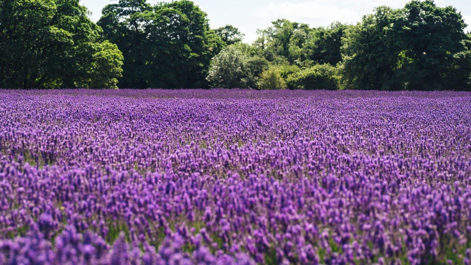 La fioritura dei campi di lavanda in Lombardia Milanodabere.it