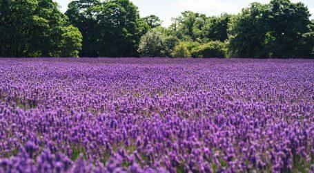 La fioritura dei campi di lavanda in Lombardia