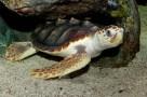 De onechte karetschildpad laat zich op Bonaire niet makkelijk zien.