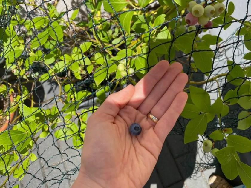 Blaubeeren Ernten