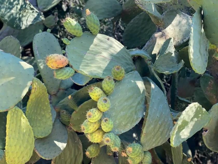 Kaktusfruechte Ernten