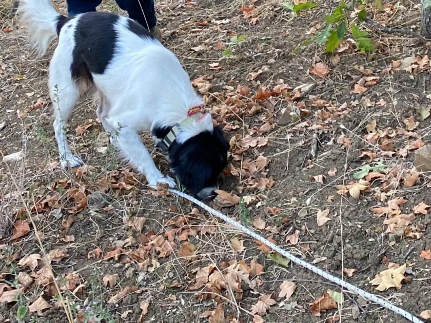 Trueffel Hund Toskana