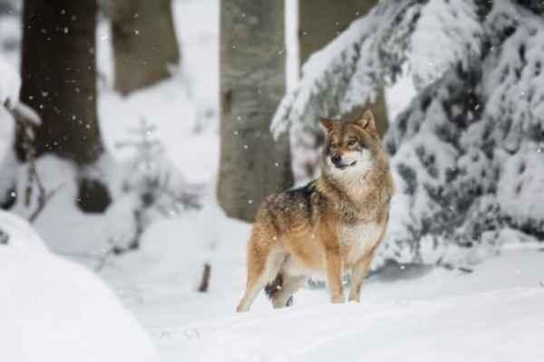 História infantil do lobo