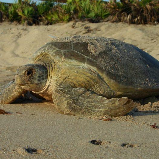 3 Acciones para Ayudar a las Tortugas Marinas