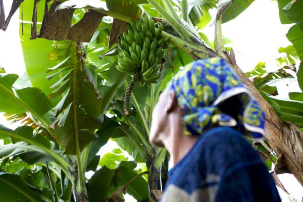 A lady looking up at bananas growing in tree.