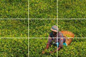 A man picking tea, Rwanda