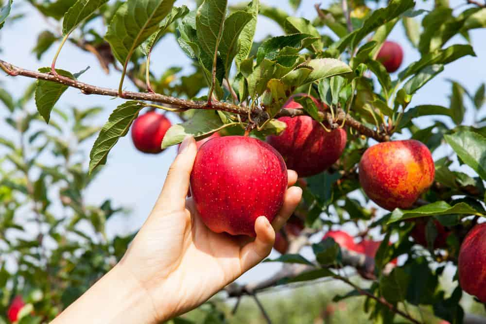 9 Farms and Orchards Where You Can Pick Your Own - Mile High