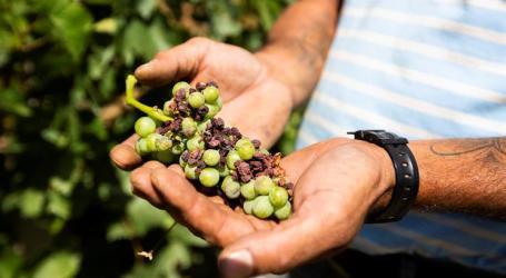 Menos vinho este ano por causa do clima e doenças