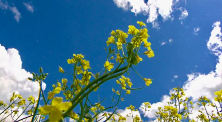 Canola, chemicals and bees: Why Canadian farmers are fighting a proposed pesticide ban