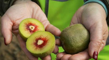 Kiwi vermelho é a nova coqueluche da região da Bairrada