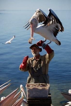 Pelikan, Pelikane, Fütterung, Fuetterung, Kangaroo Island, Attraktion, interesant