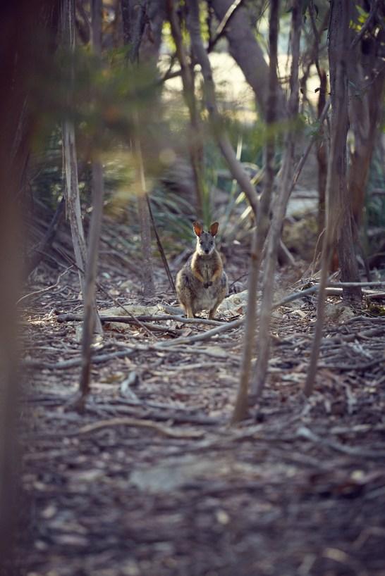 Wallaby, Joey, Baby, Kangaroo Island, nature, natürliche Umgebung, Spaziergang, entdeckt, Roadtrip, Australien, Miles and Shores, Travelblog, Reiseblogger