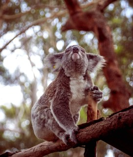 Koala, Australien, Koalabär, Hospital, klettern