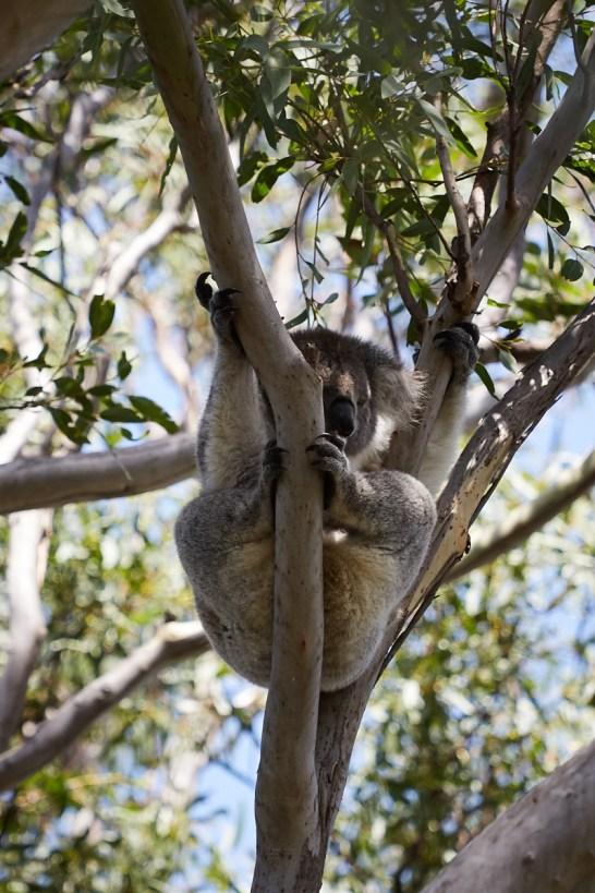 Koala, Koalabaum, schlafend, schlafen, Eukalyptusbaum, 18 stunden taeglich, Raymond Island, Koala track