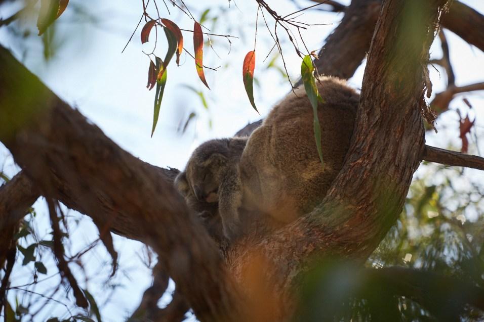 Koala, joey, baby, bear, Raymond Island, Koala track, Roadtrip, Australia, Australien, Miles and Shores