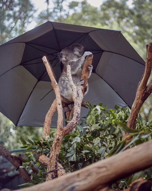 Koala, unter, Sonnenschirm, Regenschirm, süß, Koalabär, Hospital, Port Macquarie