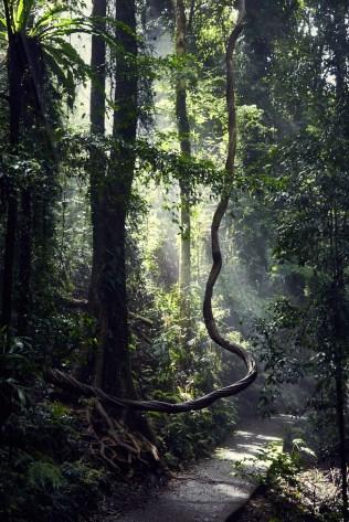 Dorrigo National Park, Australia, Australien, Womba Walk, Pflanzen, Regenwald, Urwald, Baum, geschlungen, geschwungen, Sonneneinfall, Wanderweg, wunderschoen